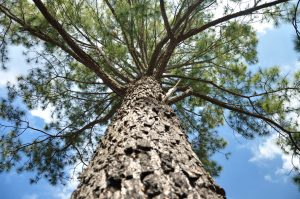 Pine tree on blue sky from ant's eye view.